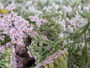 Achillea millefolium, Mathilde Simon