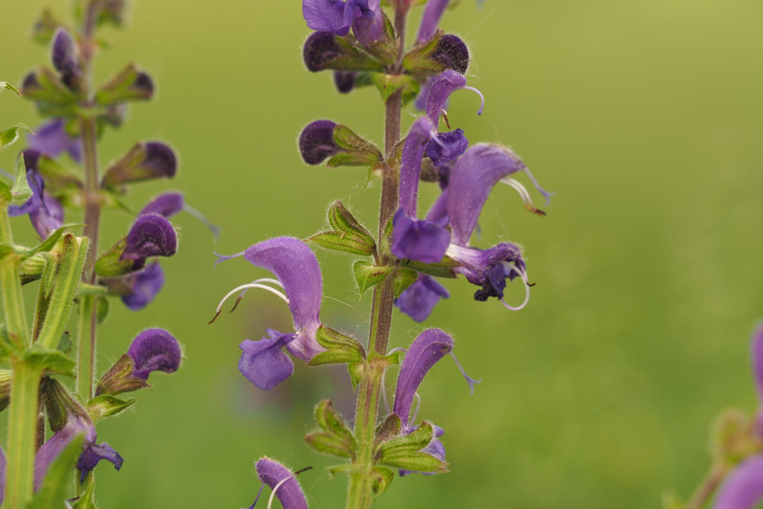 Sauge des prés, Salvia pratensis