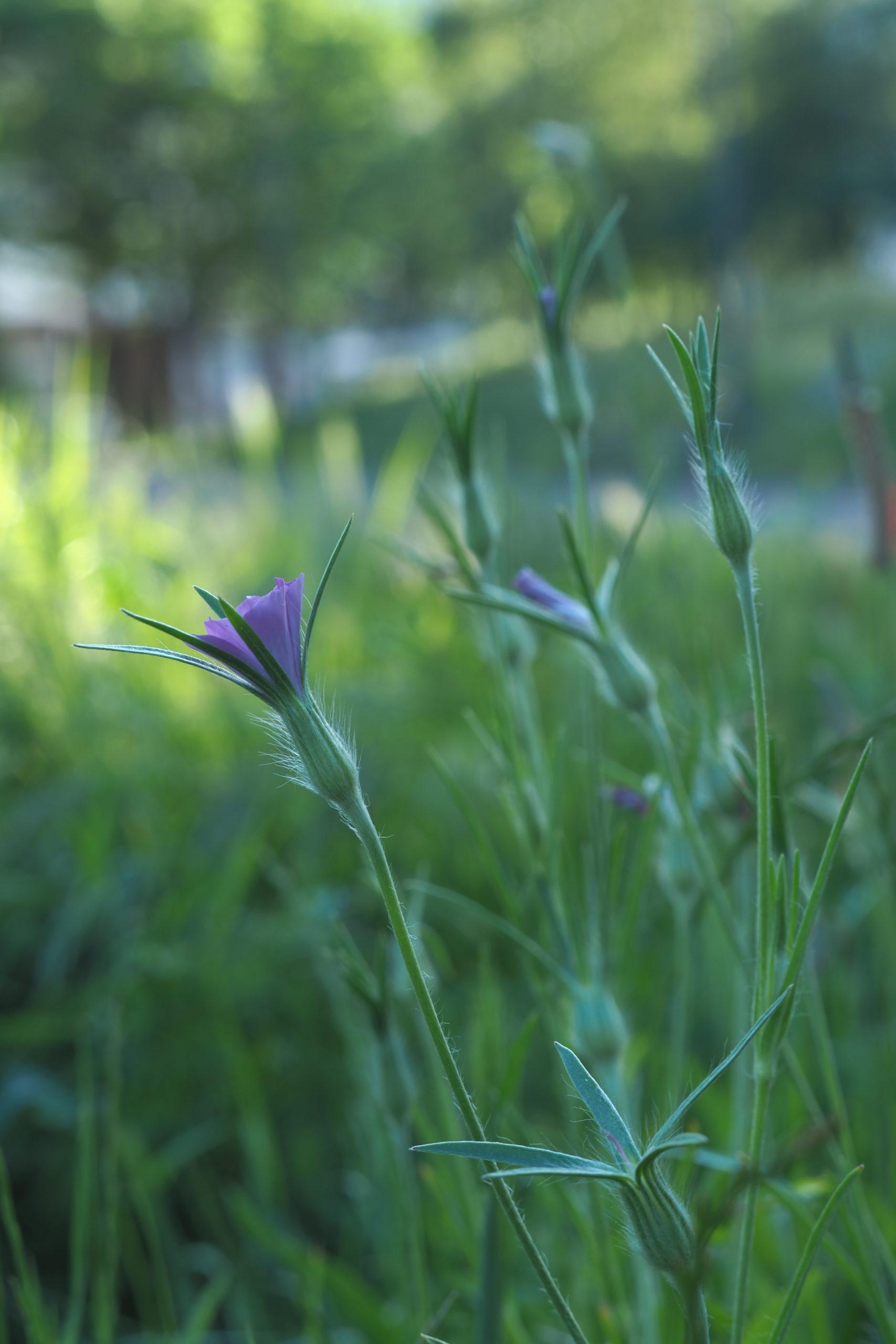 """Plantes sauvages """"du bas de l'immeuble"""" n°8 : La nielle des blés"""