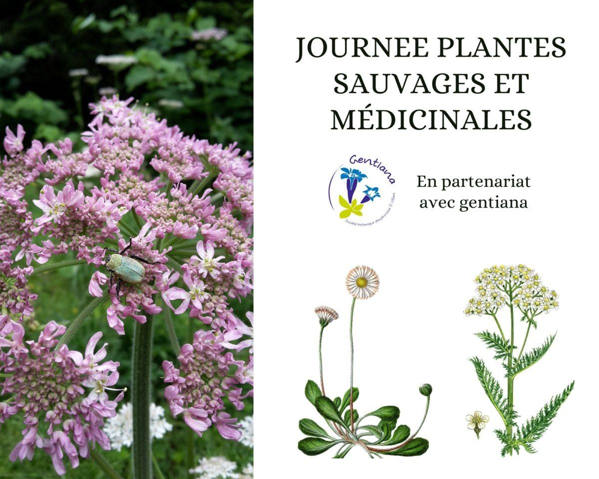 Journée plantes sauvages comestibles et médicinales en partenariat avec gentiana